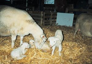Lammefødsel