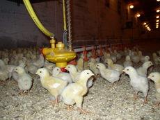 Kyllinger