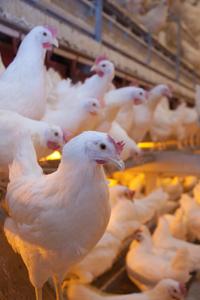 Frittgående høns
