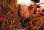 Vi skal ha god dyrevelferd i alle slaktegrisbesetninger