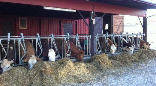 Fjøsbesøk i Romedal, hos Bjørn Trygve Bryhn. Omgjort potetlager til tallefjøs der kuene går ut og inn. Fôrplassen er støpt, og skrapes med traktor. Spesialisert produksjon, med salg av kalv.