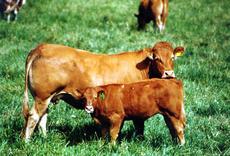 Limousin ku med kalv