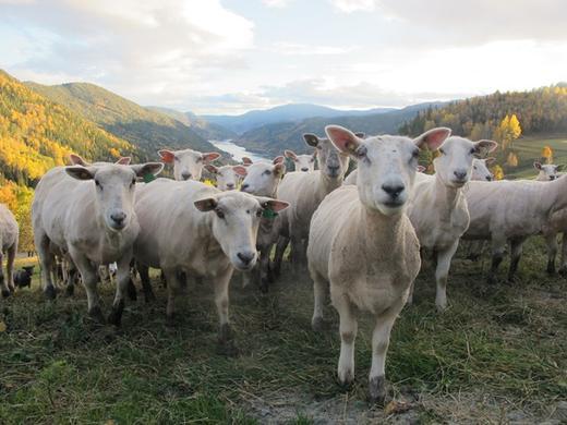 Småfeprosjektet har som ambisjon å utvikle nye produkter fra lam og sau. For å få dette til kreves kunnskap om smak og faktorer som bidrar til stabil kjøttkvalitet.