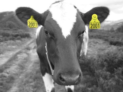RFID-merker på storfe skal bestilles fra 1. januar