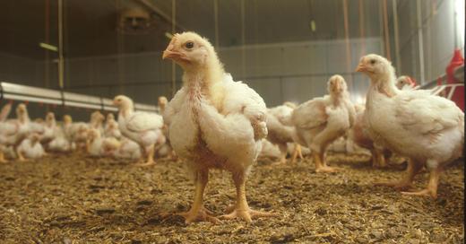 Overkapasitet på over 30 prosent gjør at antall kyllingprodusenter i Nortura må ned. Det vedtok Norturas konsernstyre.