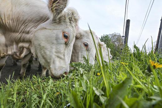 Før sommeren vil det komme en helt ny serie med Gilde kjøttprodukter fra Nortura. Det er kjøtt fra kyr som nesten bare har spist gras, og dermed omdannet gras og utmarksbeite til næringsrik mat.