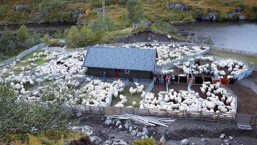 Oversikt over sankegjerdet til Beinhelleren Sankelag, med ei overbygd drivrenne i midten. Foto: Ingrid Sødal Eidsnes