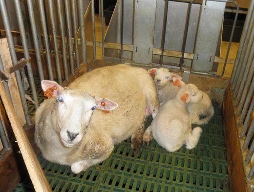 Påsettlam med to fine lam