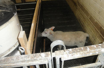 Lamma kjem inn og hentar seg ein mjølkesup og ein kraftfôrporsjon