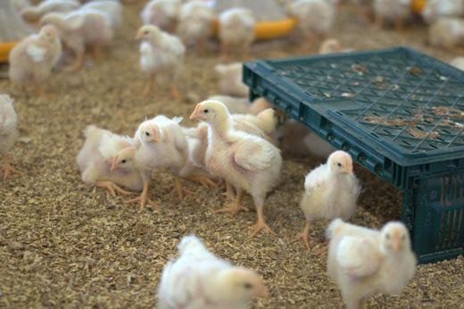 Kylling i aktivitet. Foto: Trine Erichsen
