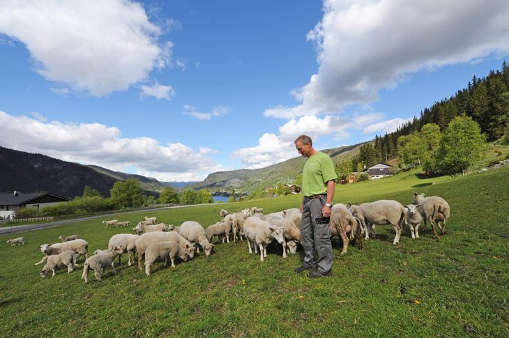 Robert Søndrål driver med sau i Hol øverst i Hallingdalen