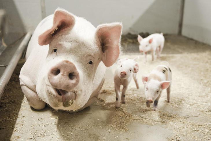 Regulering av svineproduksjonen