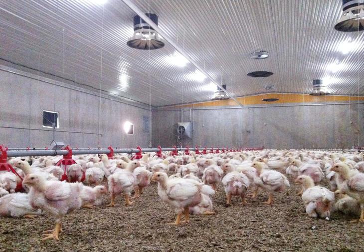 Norsk kylling med minst resistens i Europa