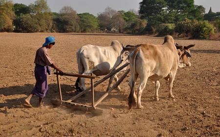 Jordbruk med okser til pløying