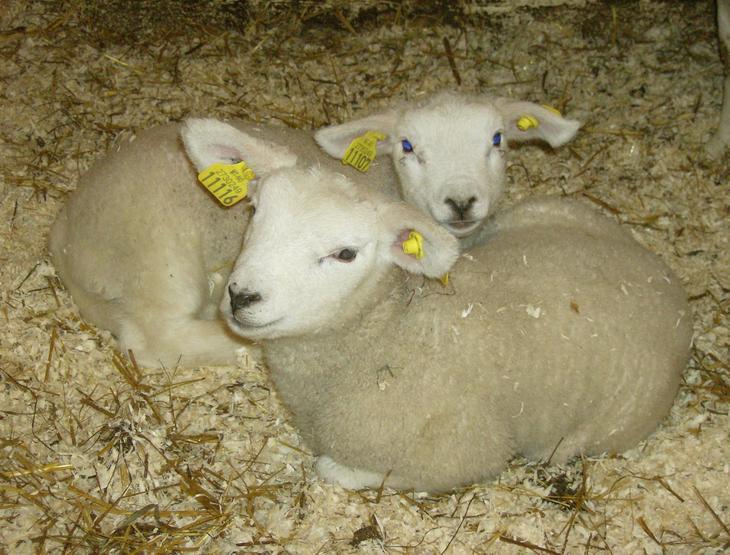 Råmelk – viktig for lammene
