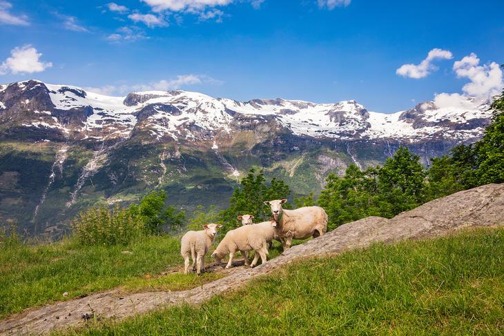 På fjellet, foto Nortura