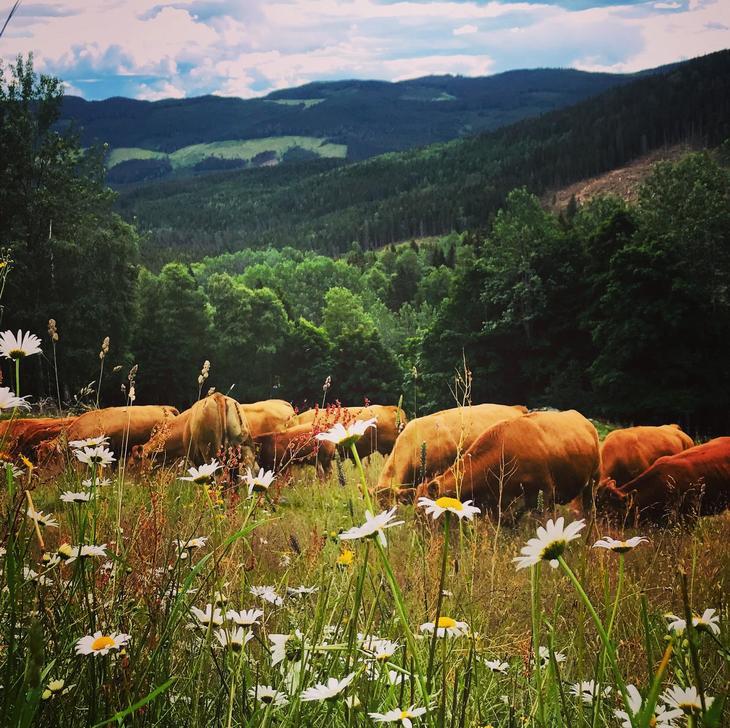 Limousin i blomstereng. Foto: Elisabeth Kluften, Nortura