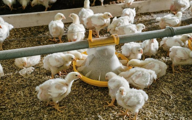 Kyllinger hos Aarsland