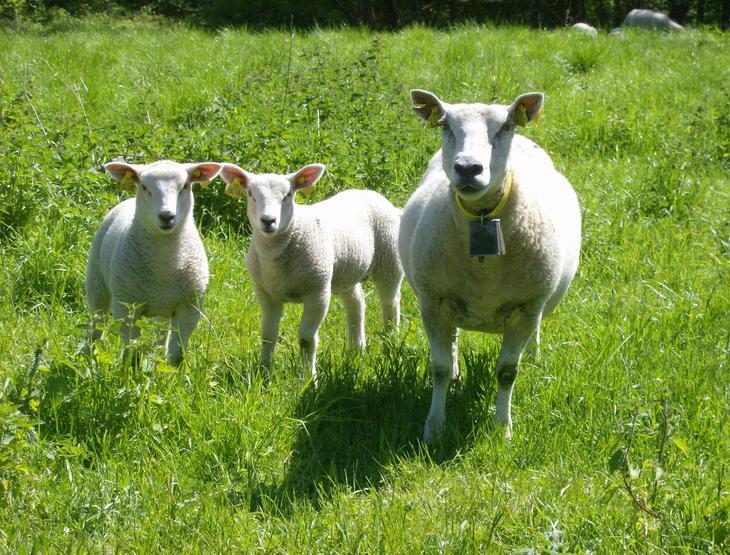 Frodige lam og ei søye i godt hold