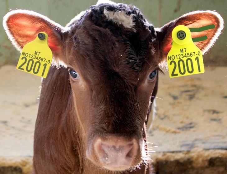 Kalv med øremerker