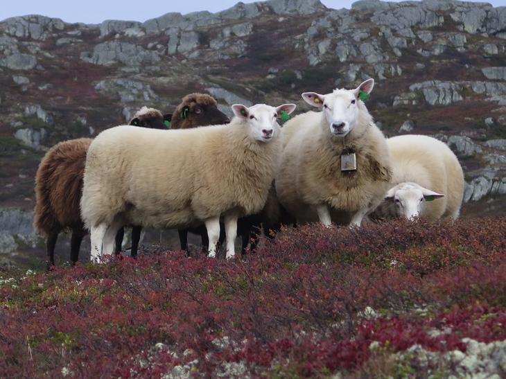 Sau og lam på fjellbeite. Foto: Grethe Ringdal, Nortura
