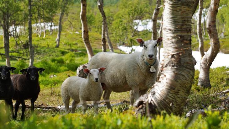 Sau med lam på skogsbeite. Foto: Linn Hege Engen, Nortura